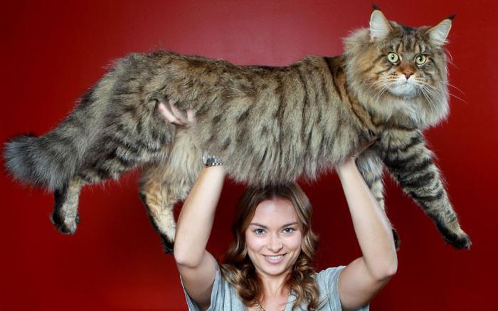Размеры взрослого кота