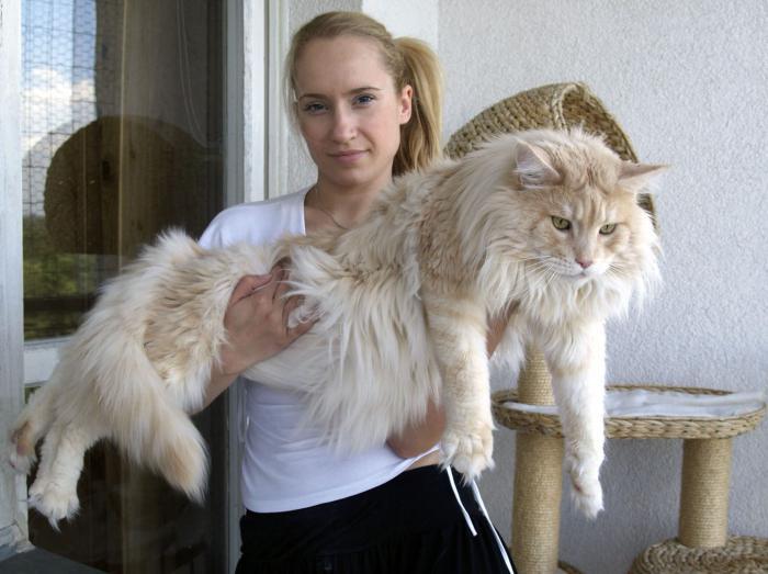 Вес взрослого кота мейн-куна