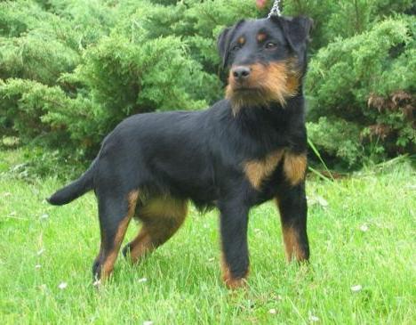 Ягдтерьер: характеристика породы и особенности, отзывы собаководов