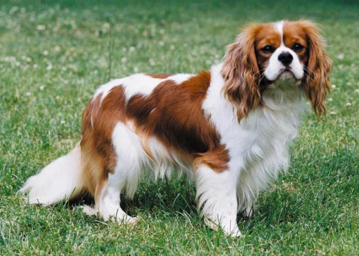 декоративные породы собак фото