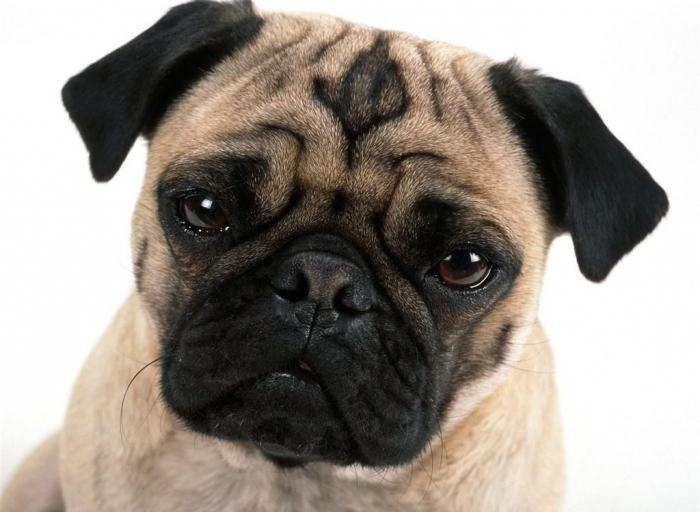 декоративные собаки маленьких пород фото