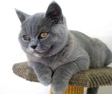 Дрессировка кошки британской породы