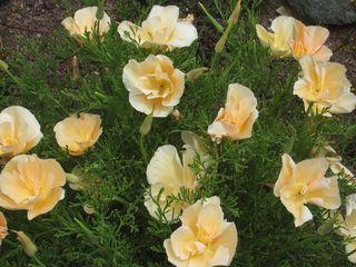 Роза бордюрная