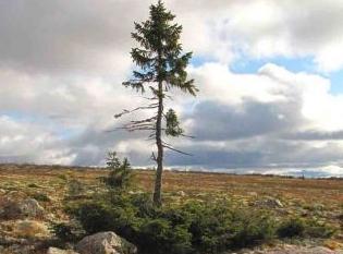 Самое старое дерево растущее на нашей