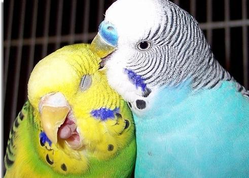 Попугай сексуальный маньяк