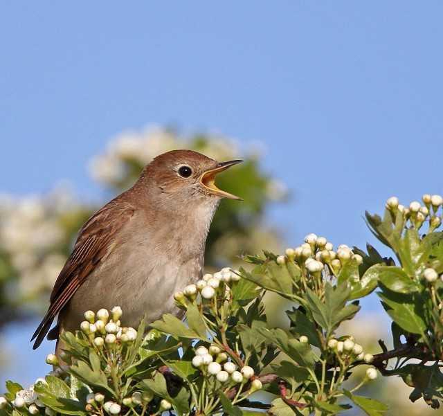 галерея качественных соловей фото птицы когда поют обитания белых
