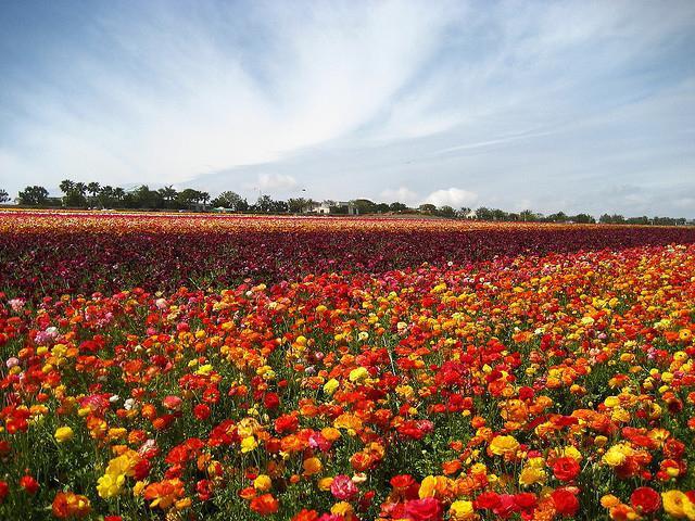 Цветы ранункулюс посадка и уход