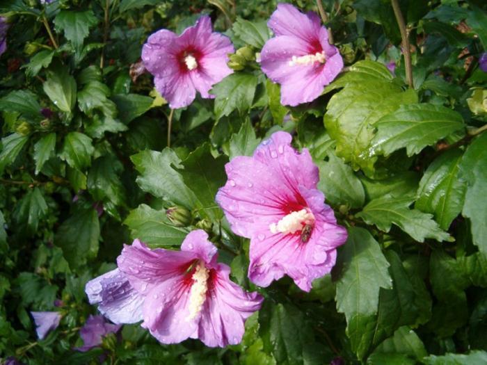 Китайская роза или гибискус цветок смерти фото