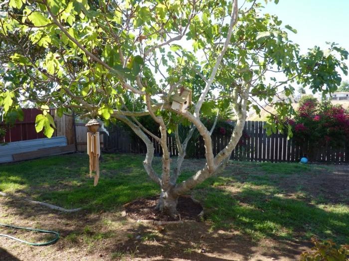 жимолость дерево
