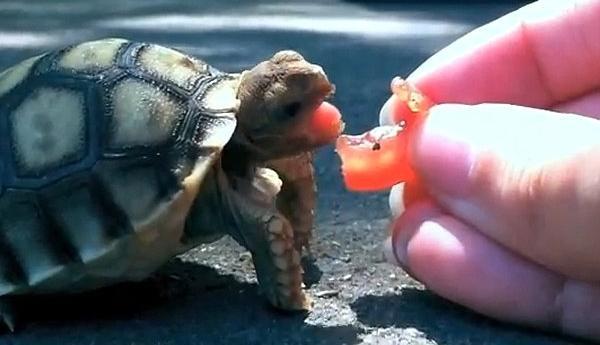 что едят сухопутные черепахи