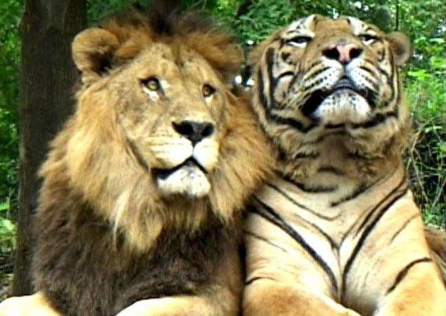 кÑ'о сильнее Ñ'игр или лев