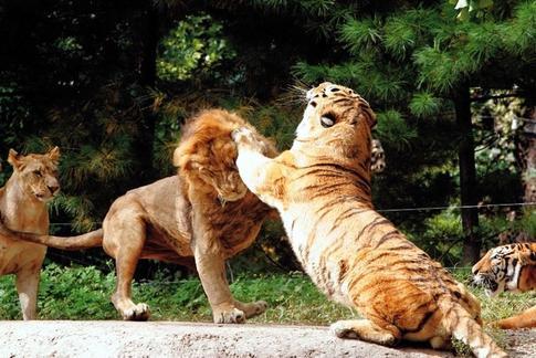 Ñ'игр проÑ'ив льва кÑ'о сильнее