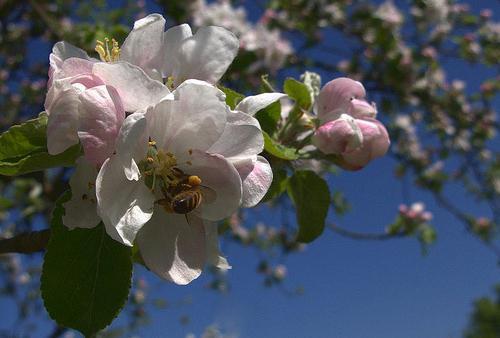 как весной ухаживать за яблоней