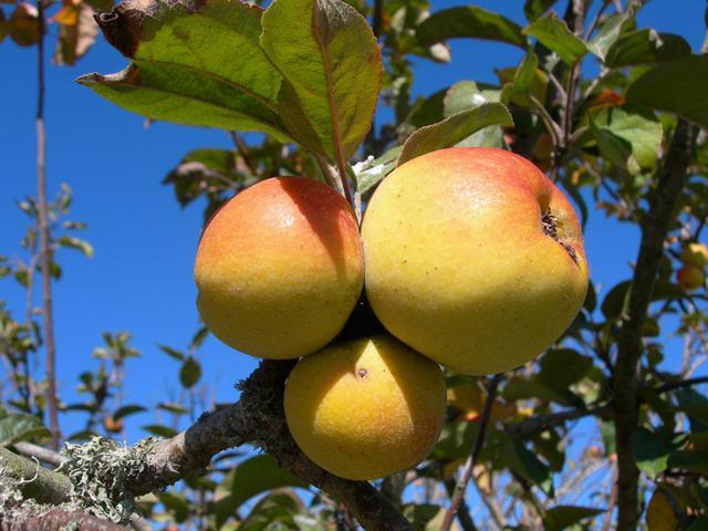чем опрыскивать яблони весной