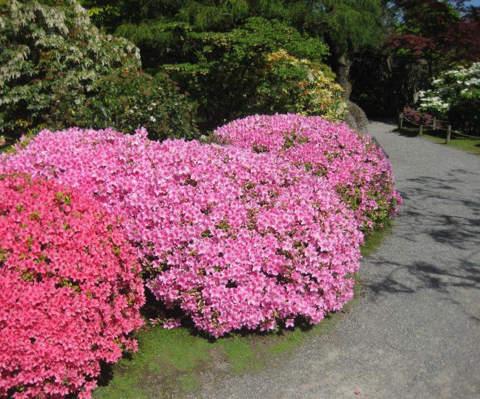 Азалия многолетняя садовая выращивание и уход фото 28