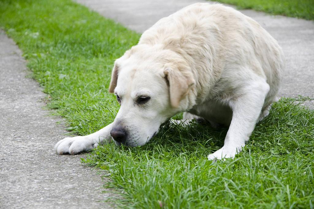 Желтая рвота у собак: описание симптомов, причины, первая помощь и лечение