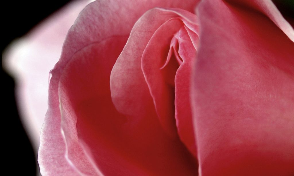 Роза в форме вульвы