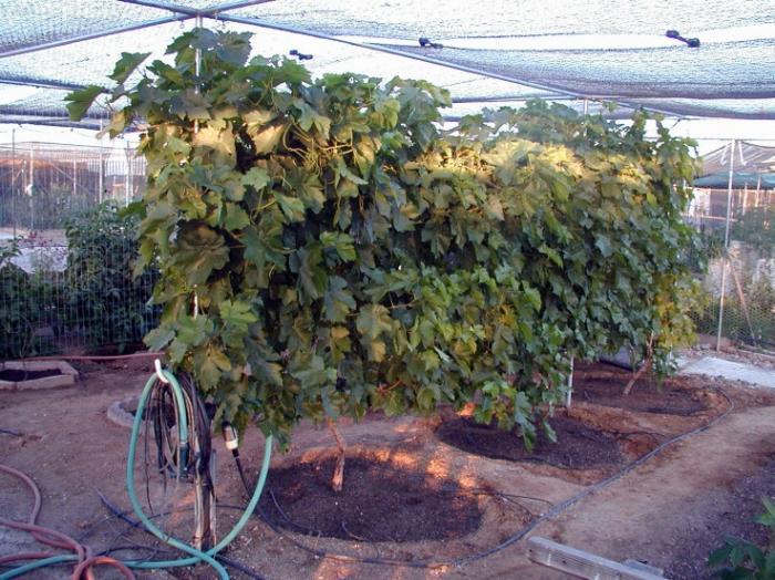 Правильные полив и подкормки винограда - залог обильных урожаев