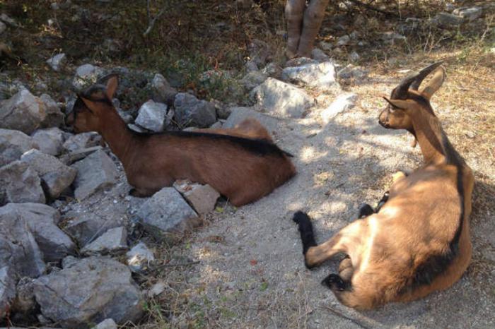 Молочные козы. Фото