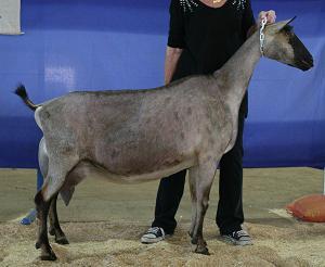 Французская альпийская коза