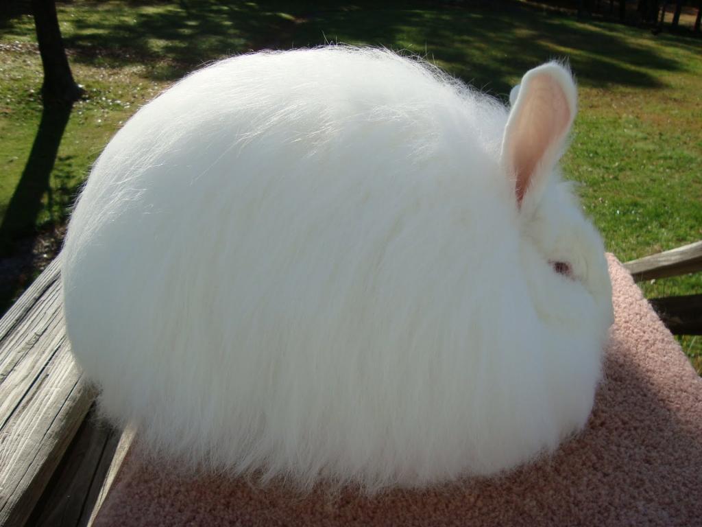 Картинки кролики ангорские