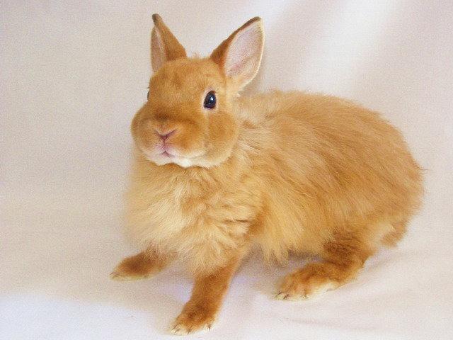 Кролик лиса