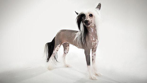 китайские собаки мутанты