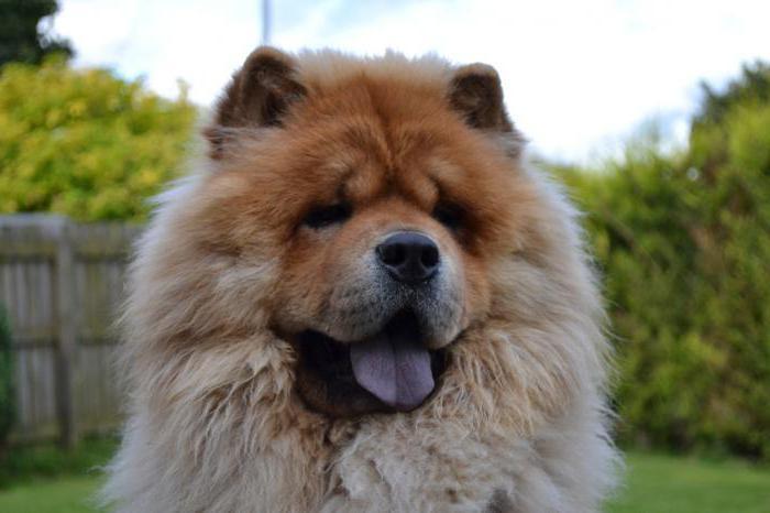китайская лысая собака