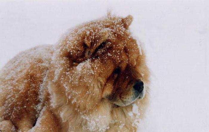 китайские собаки фото