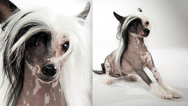 китайские собаки