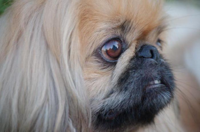 китайская лохматая собака
