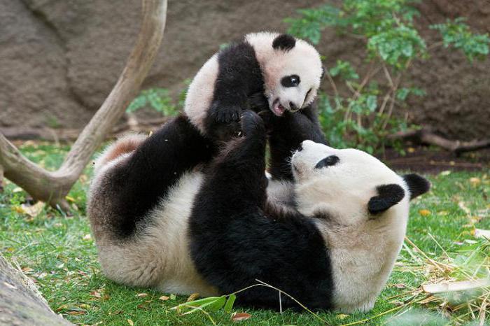 интересные факты про панду