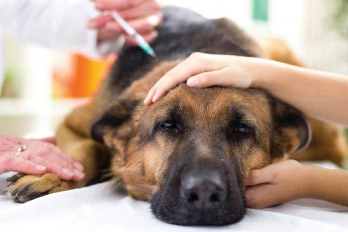 брюшная водянка у собак
