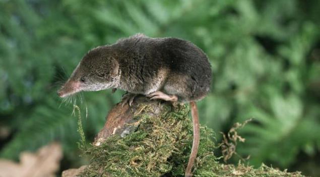 мышь с длинным носом название