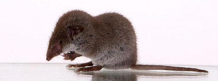 мыши с длинным носом фото