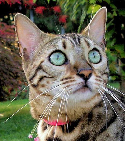 Чем кормить бенгальских котят: правильное меню