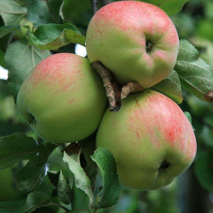 обезоруживающей лиричностью яблоки картинки с названием список целей
