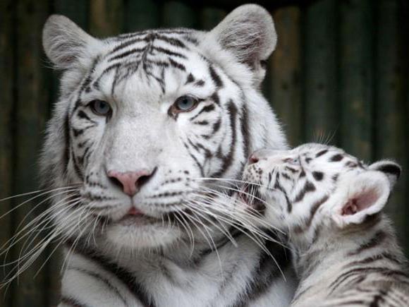 Что означает тигр во сне?