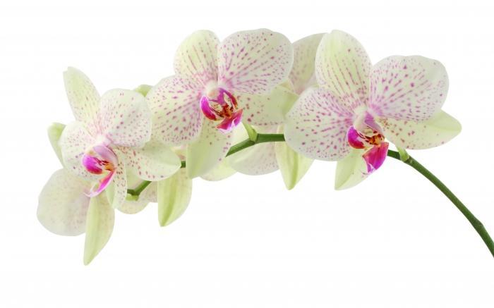 Чи можна пересаджувати квітучу орхідею
