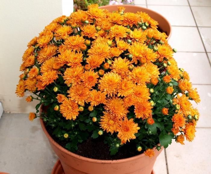Сорта хризантем кустовых с картинкой