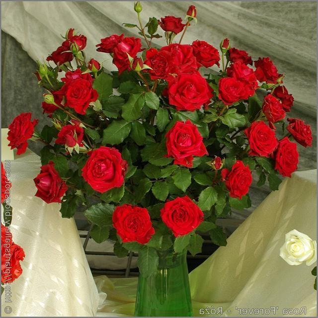 Роза кордана микс