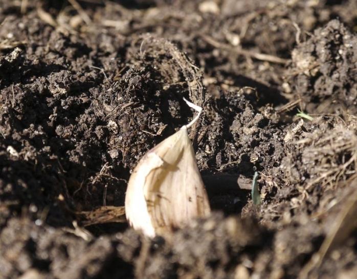 Гигантский чеснок рокамболь: особенности выращивания