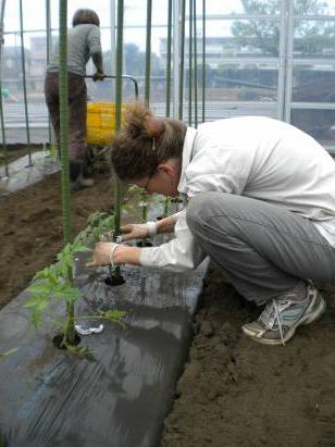 Томатам необходимо обеспечить регулярный полив.  Как поливать помидоры в теплице, сказать однозначно сложно.