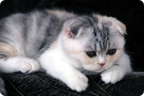Вислоухая кошка окрас