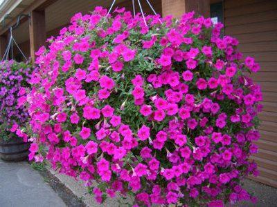 Как правильно осуществлять ампельное выращивание петунии в 31