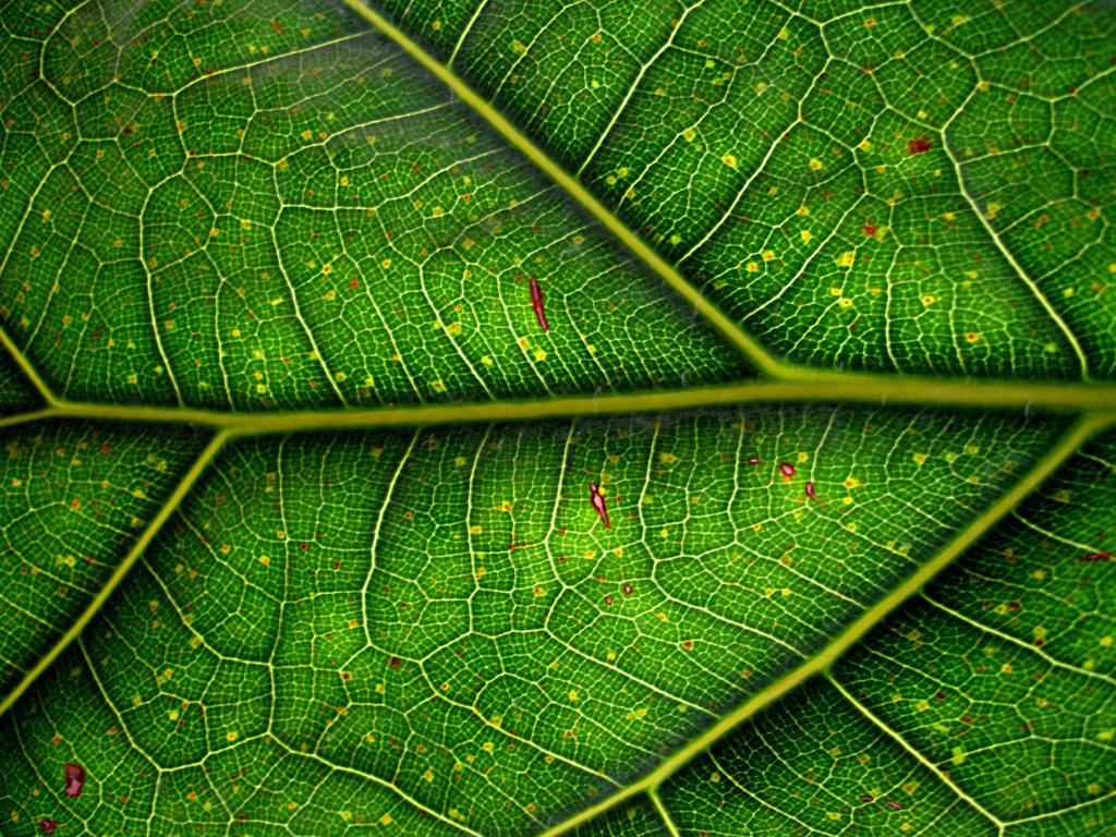 хлорофилл лист