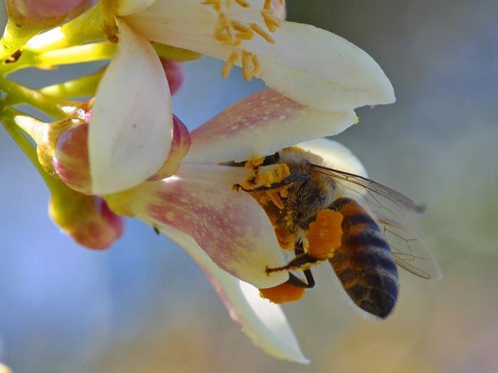 Пчелиная пыльца: польза и вред необычного продукта