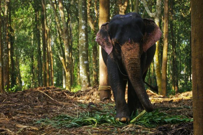 сколько ест слон в день