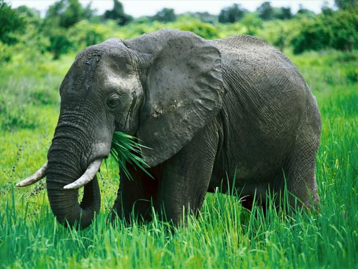 чем питается африканский слон