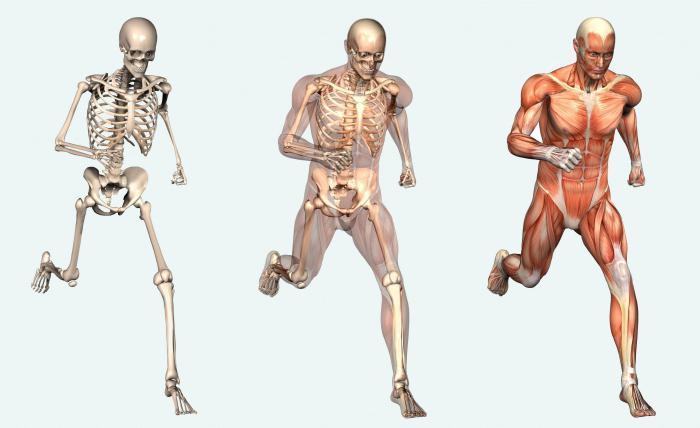 схема организма человека